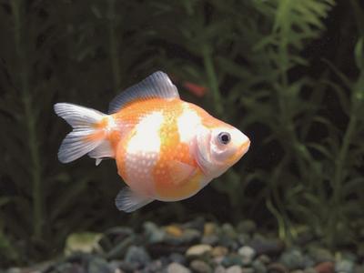 こんな面白い種類がいるなんて!?世界の珍しい金魚たち
