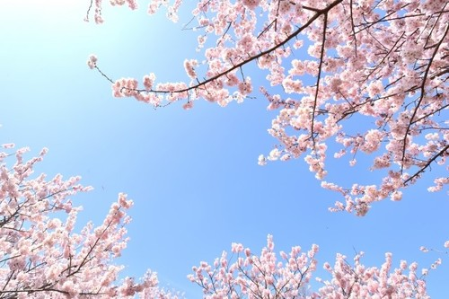花見シーズンに披露したい、桜の種類トリビア