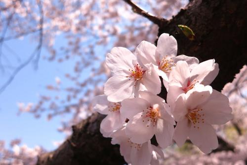 デジカメやスマホで桜の花をきれいに撮影するコツ | エンジョイ!マガジン